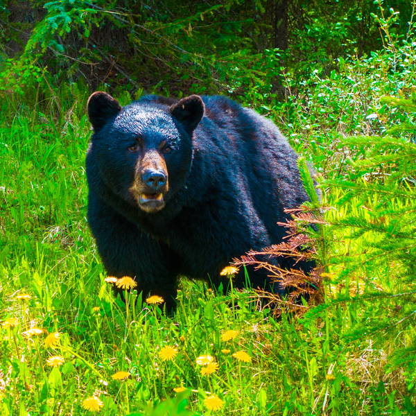 Black Bear near Maligne Lake Jasper National Park Canada