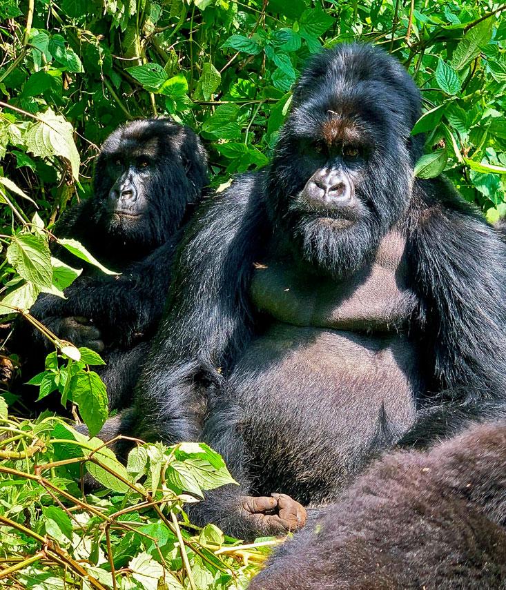 Silverback Gorilla Virunga National Park February 2020